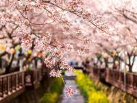 Du học Hàn Quốc kỳ mùa xuân – Tại sao không?